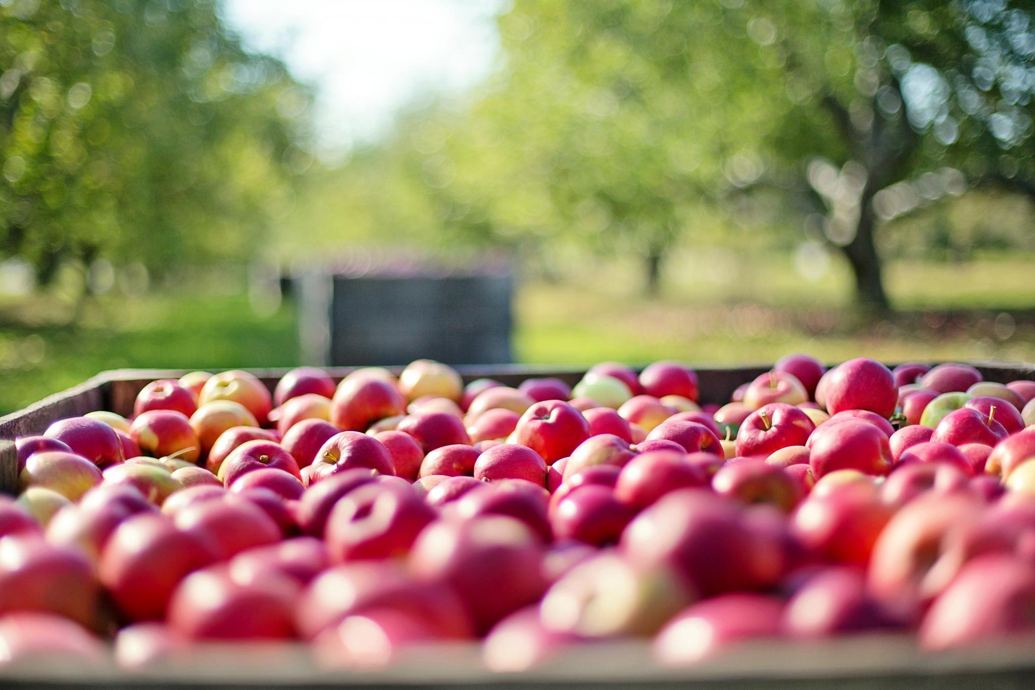 apples-1004886